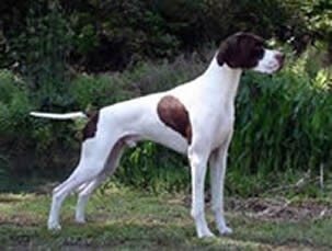 Photo: We would like to introduce Solivia's Skywalker  to the great white North.  Luke will be a great addition to our family  Thanks goes out to Solivia Kennels for sharing this fine young dog with us here at Perry Glen Kennels English Pointers